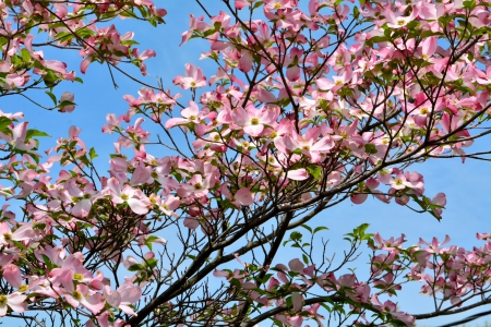 Spring Beauty - dogwood, pink flowers, Spring Beauty, spring flowers, pink dogwood, spring scene