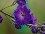 Delphinium Pagans Purple
