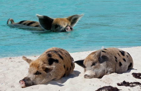 pigs paradise - on, beach, the, swimming