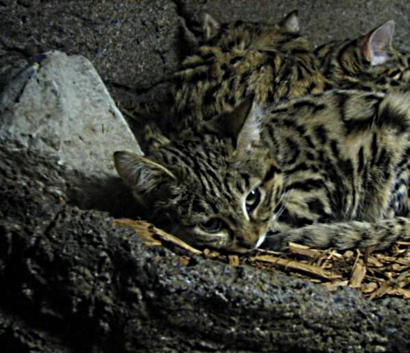 Black footed cat - alert, small, rests, high