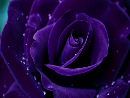 Purple Rose - water, purple, rose, dropplets