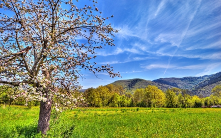 Blooming Apple Tree Hdr