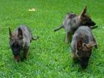 shepherd pups