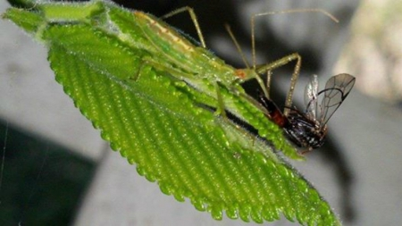Assassin Bug - sick, lunch, sweet, bug, Assassin, cool, green, assassin bug