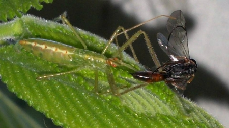 Assassin bug 2 - bug, assassin bug, cool, lunch, green, Assassin, sick, sweet