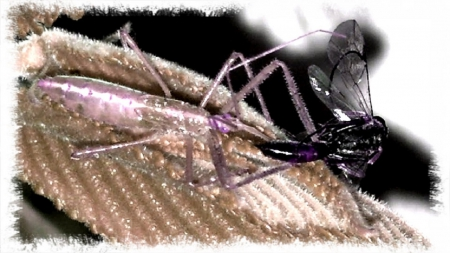Assassin Bug 4 - bug, assassin bug, cool, lunch, Assassin, sick, sweet