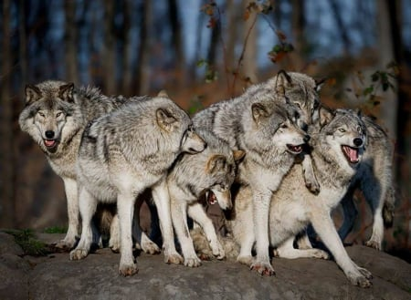 The Wolf Pack Other Animals Background Wallpapers On Desktop Nexus Image 1751989