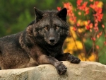 BLACK WOLF LOOKING AT YOU