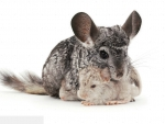 chinchilla with cubs