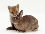 Fox and a rabbit