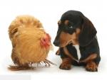 Dachshund with chicken
