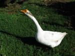 Fifi the goose