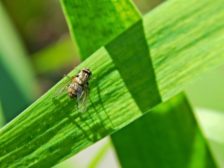House fly - leaf, housefly, bug, green, nature