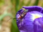 Assassin Bug And Iris flower