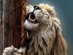 Lion scratch