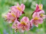 Peruvian lily - alstroemeria