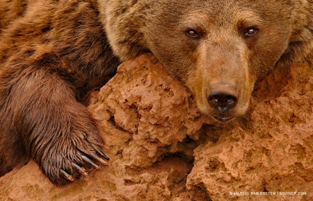 Red brown bear - awesome, bear, wild life, brown
