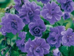 Himalayan Purple Genranium