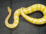 juvi albino bp
