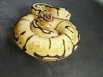 Bumble bee Ball Python2