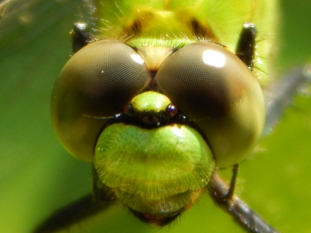 Close Up Eyes Dragonfly - dragonfly, insect, nature, eyes