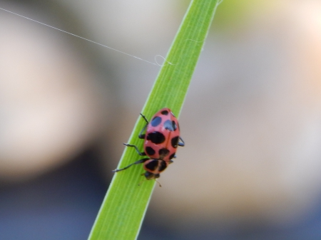 Pink Beetle - leaf, pink, green, insect, beetle, nature