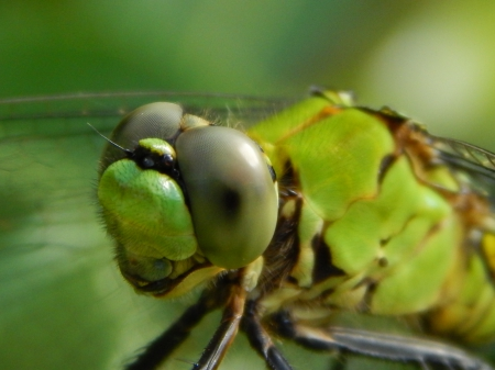 Green Eyes Dragonfly - green, insect, eyes, nature, dragonfly