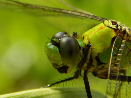 Beautiful Eyes - bug, green, insect, beautiful, eyes, nature, dragonfly