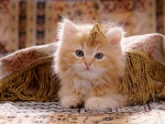 Red persian cross kitten