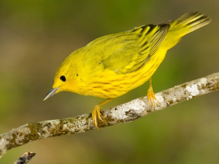 Little Yellow Bird >> Little Yellow Bird Birds Animals Background Wallpapers On