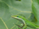 Green anole lizard head