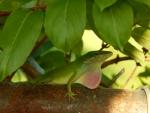Male Anole Lizard