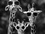 Goofy Giraffes