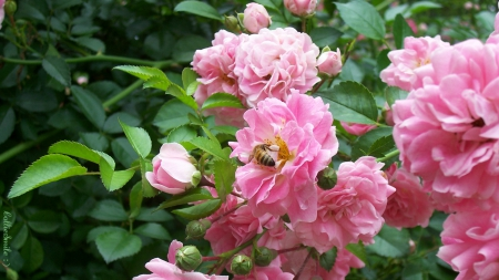 Honey Bee in Pink Roses - honeybee, honey bee, roses, b1ooms, pink roses, bee, beez, leaves, green, flower, flowers, b1oom, bumb1e bee, pink