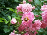 Honey Bee in Pink Roses