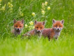 Adorable Young Foxes