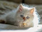 Fluffy Kitten ♥