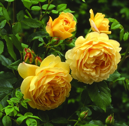 Beautiful Yellow Roses Flowers Nature Background Wallpapers On