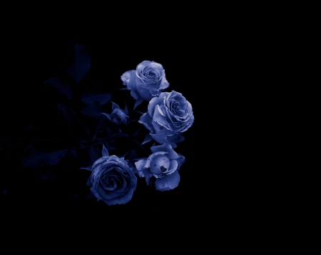 We fell in love with it, period.  There he falls in love and nothing else, suddenly. - blue dreams, nature, roses, black and blue, two colors