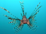 Red lion fish
