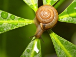 Maroon snail on leaf