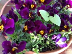 French pansies