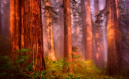 Light On Mystic Redwood Forest Forests Nature Background Wallpapers On Desktop Nexus Image 1762745