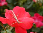 Stick Bug And Red Rose