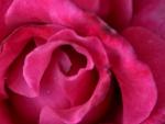 Macro Red Rose
