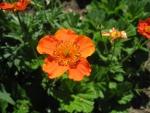 Oranges Flowers