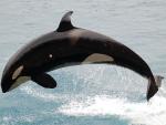 Orca,jumping