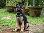 sitting German shepherd pup