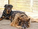 Rottweiler and shepherd