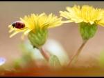 Dandelon with lady bug